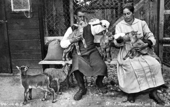 Bis 1936 kamen insgesamt 30 Steinkitze grösstenteils illegal aus Italien  in den Wildpark. Die Aufzucht der Kitze war äusserst erfolgreich.