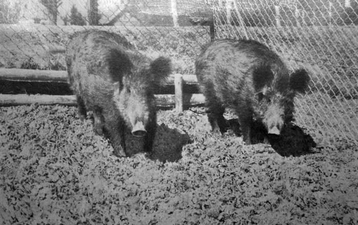 Ein Gehege für Wildschweine entsteht.